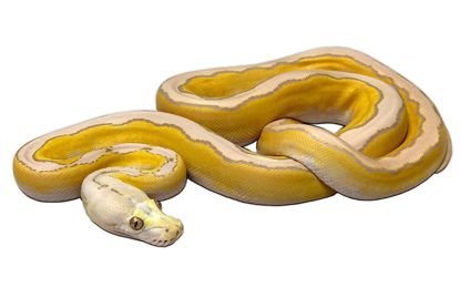 Picture of Male Motley Platinum Lavender Albino Reticulated Python