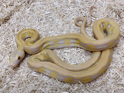 Picture of Purple Albino Tiger Reticulated Python